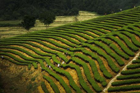 I giardini del tè di Dazhangshan